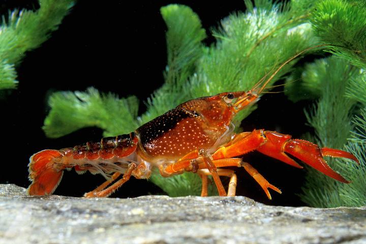 header-crayfish1.jpg