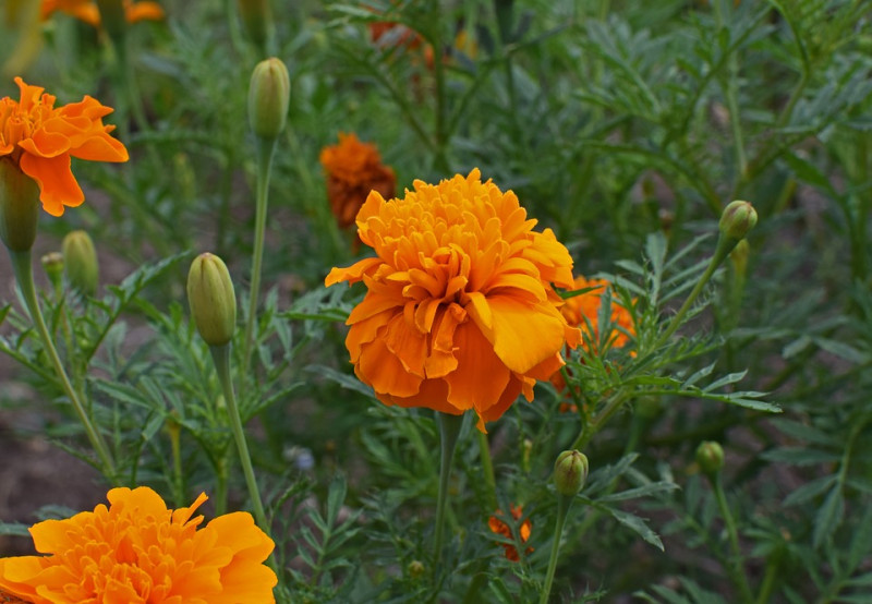 orange-marigold-2681465_960_720.jpg