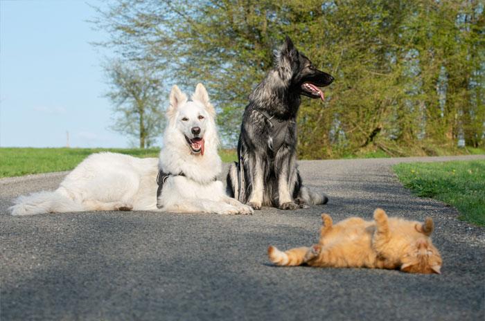 Được cứu sống sau khi bị tai nạn, chú mèo hòa nhập cùng đàn chó lớn và quên mất luôn mình là mèo gây sốt mạng xã hội - Ảnh 2.