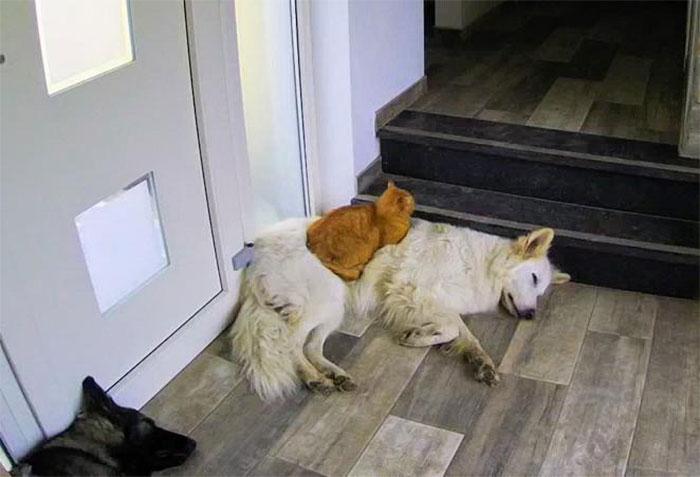 Được cứu sống sau khi bị tai nạn, chú mèo hòa nhập cùng đàn chó lớn và quên mất luôn mình là mèo gây sốt mạng xã hội - Ảnh 3.