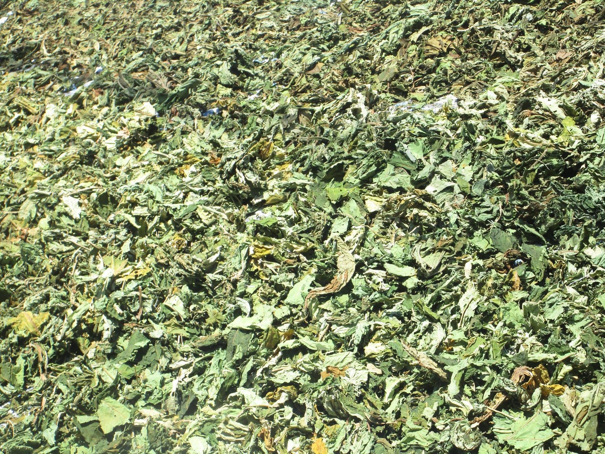 Hoa đu đủ đực: Loại hoa trước đây vứt đi nay được gom bán tiền triệu/kg - Ảnh 6.