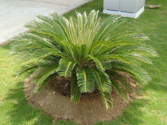 """10 loại cây có hại cho sức khỏe nhưng nhiều người thích trồng, biết để ngừa kẻo """"rước họa"""" - Ảnh 6."""