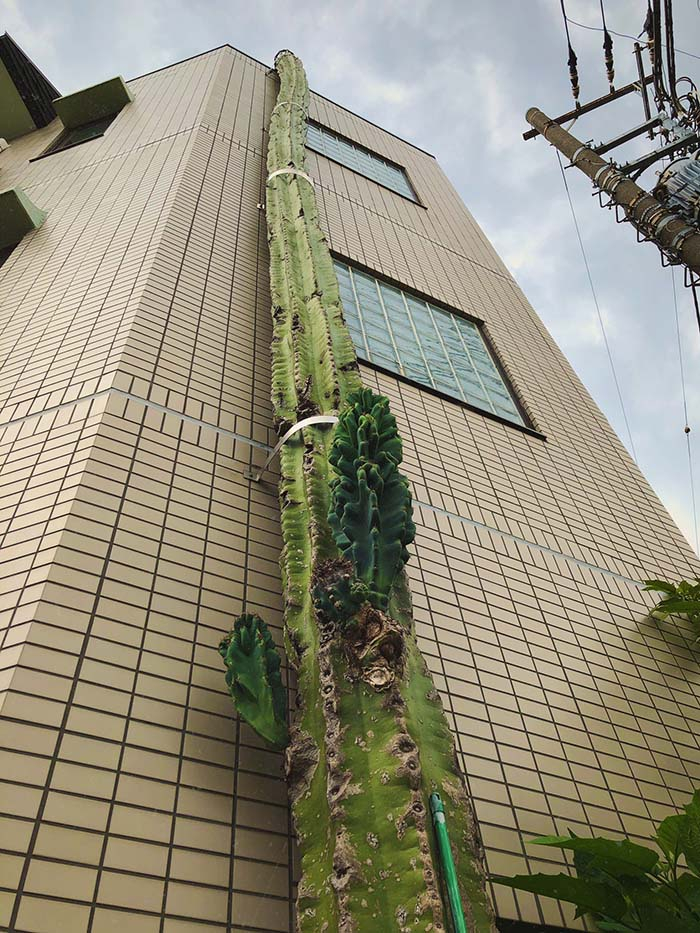 Choáng váng với cây xương rồng khổng lồ, cao hơn cả tòa nhà 3 tầng - Ảnh 2.