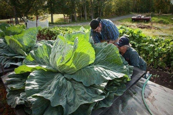 Tròn mắt trước những loại rau củ quả khổng lồ ở Alaska và lý giải cho điều lạ lùng này - Ảnh 4.