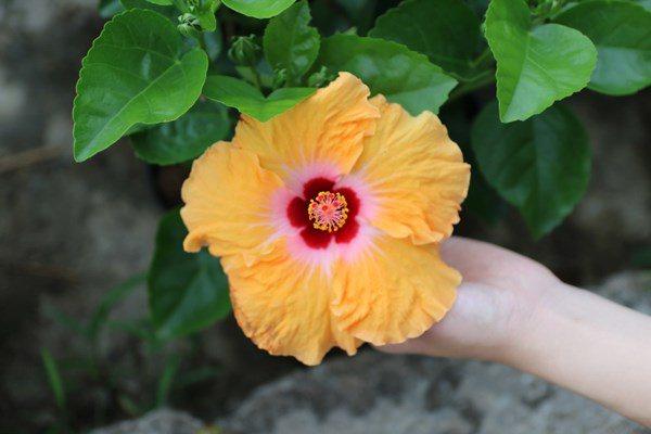 Những loại hoa đẹp mấy cũng không nên rước vào nhà, loại thứ 3 nhiều người chơi nhất - Ảnh 3.