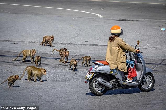 Hơn 200 con khỉ Thái Lan bị thiến không thương tiếc vì gây náo loạn cả thành phố - Ảnh 7.
