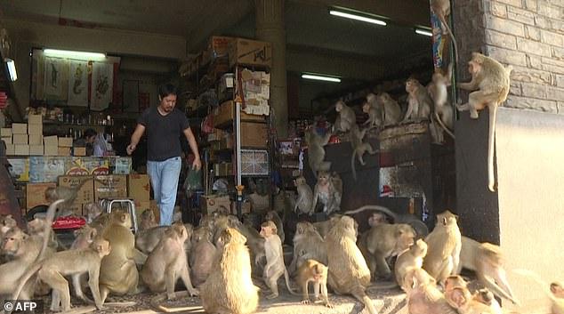 Hơn 200 con khỉ Thái Lan bị thiến không thương tiếc vì gây náo loạn cả thành phố - Ảnh 6.