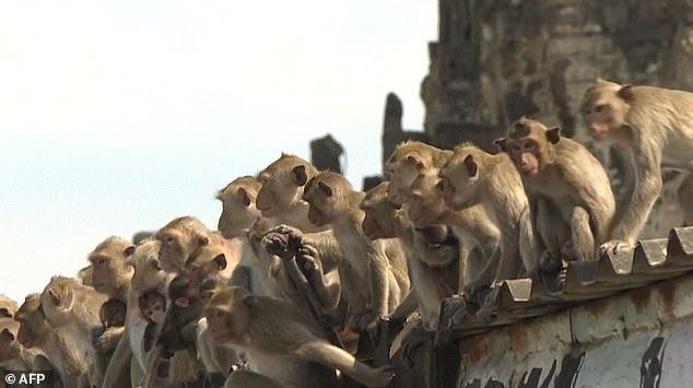 Hơn 200 con khỉ Thái Lan bị thiến không thương tiếc vì gây náo loạn cả thành phố - Ảnh 5.