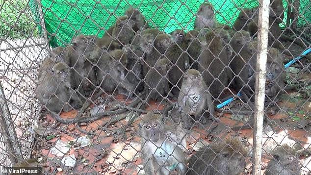 Hơn 200 con khỉ Thái Lan bị thiến không thương tiếc vì gây náo loạn cả thành phố - Ảnh 2.