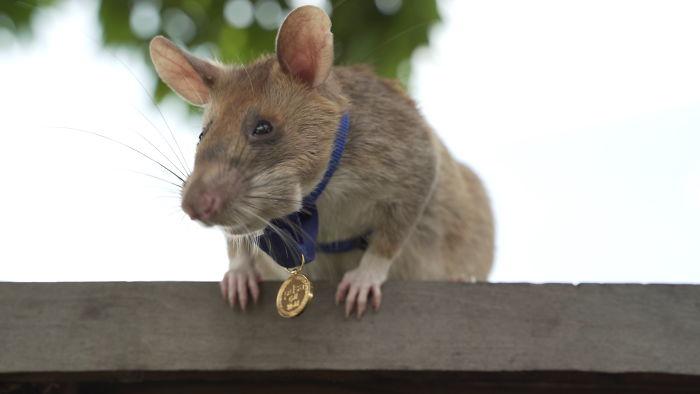 """Phát hiện 39 quả mìn, 28 vật chưa nổ và bảo đảm an toàn cho 141.000m2 ruộng đất, chuột """"anh hùng"""" được trao huy chương dũng cảm - Ảnh 1."""