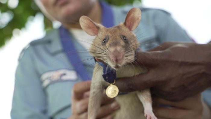 """Phát hiện 39 quả mìn, 28 vật chưa nổ và bảo đảm an toàn cho 141.000m2 ruộng đất, chuột """"anh hùng"""" được trao huy chương dũng cảm - Ảnh 4."""
