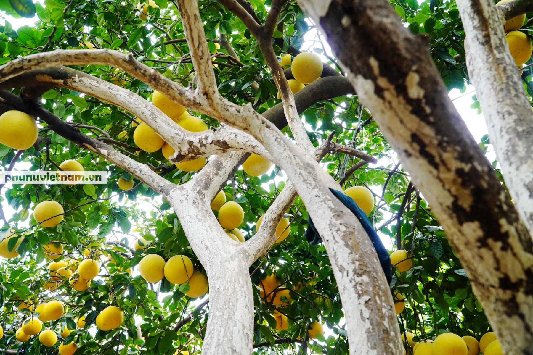 Vườn bưởi Diễn tuổi 30, chi chít cả trăm quả chào Xuân Tân Sửu - Ảnh 1.