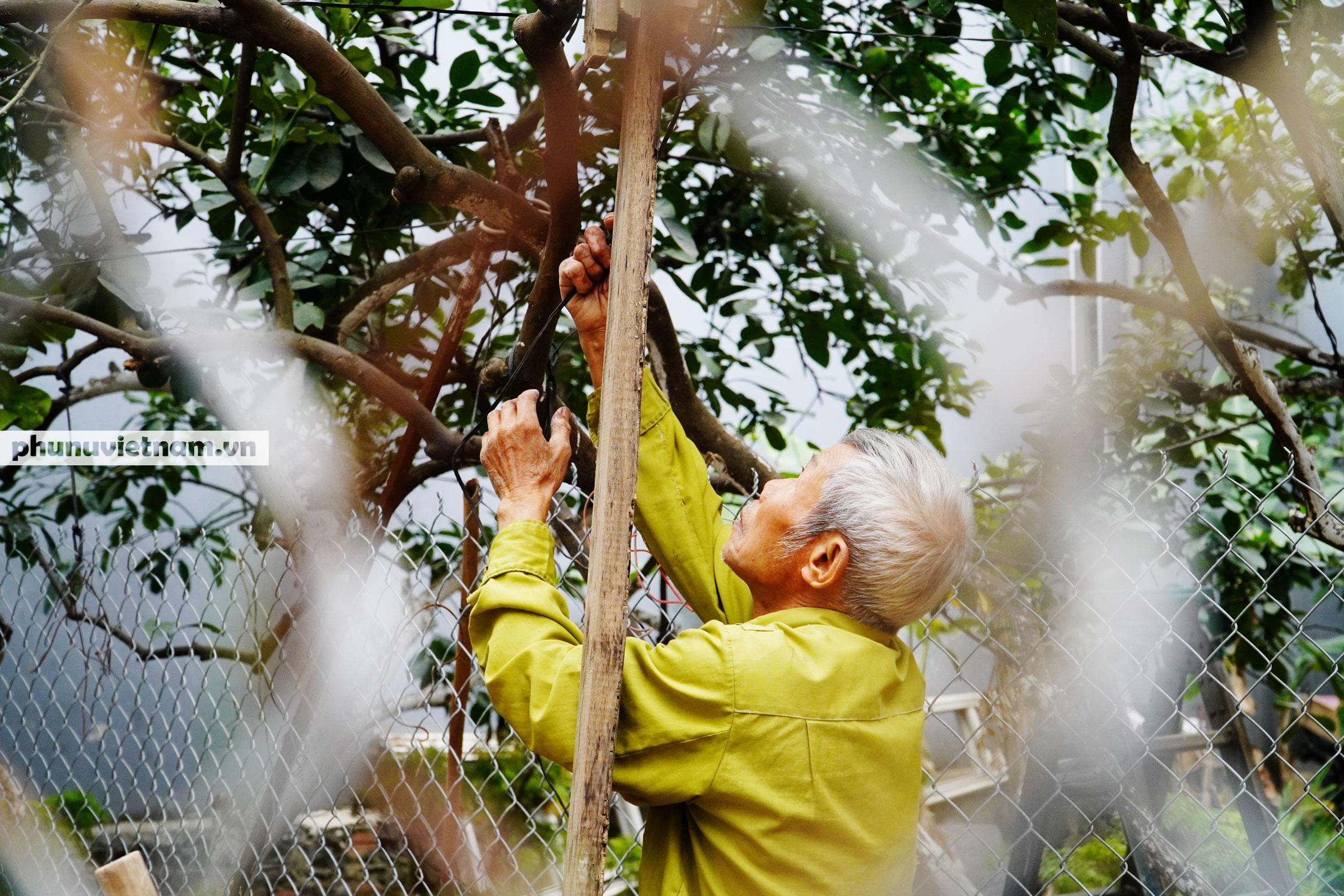 Vườn bưởi Diễn tuổi 30, chi chít cả trăm quả chào Xuân Tân Sửu - Ảnh 3.