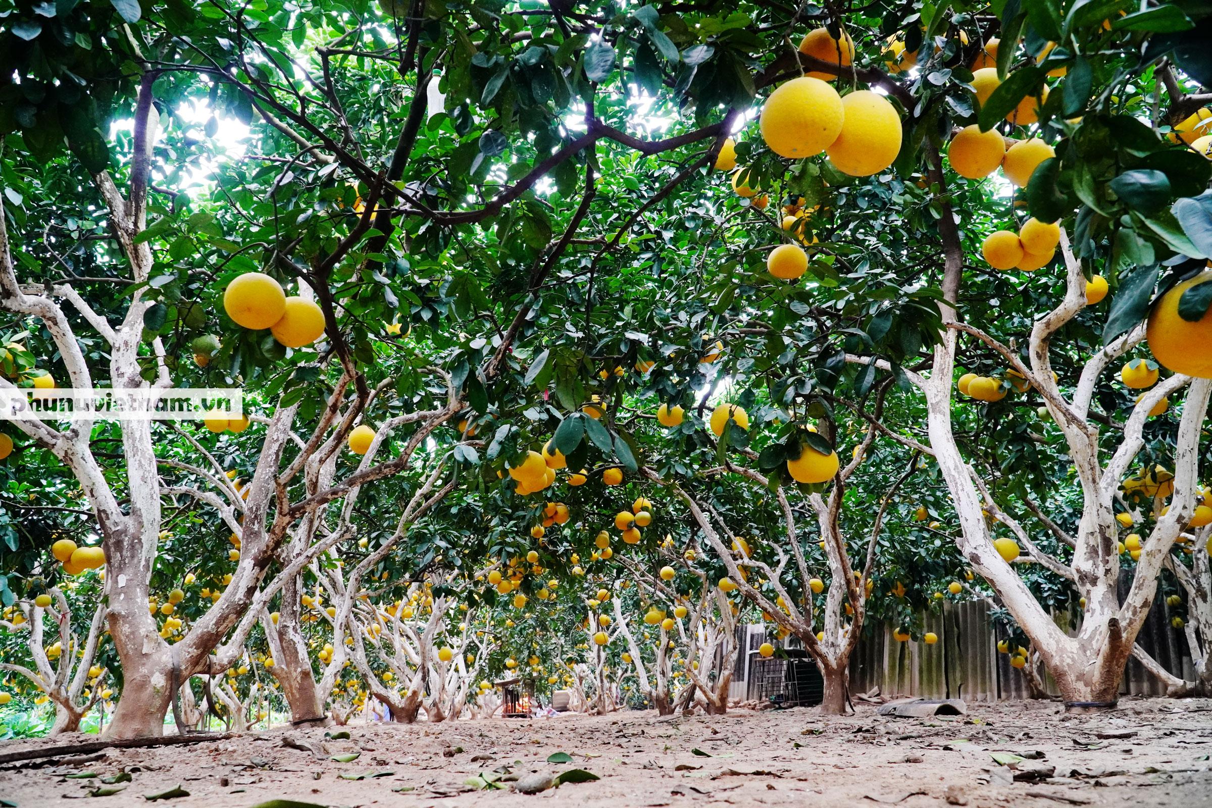 Vườn bưởi Diễn tuổi 30, chi chít cả trăm quả chào Xuân Tân Sửu - Ảnh 6.