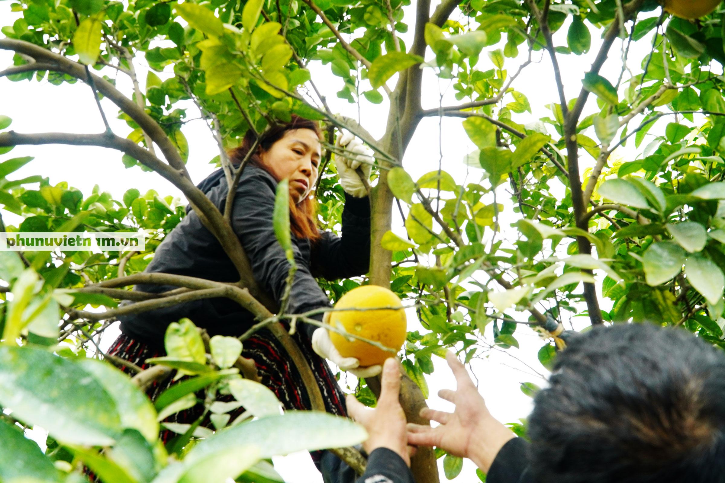 Vườn bưởi Diễn tuổi 30, chi chít cả trăm quả chào Xuân Tân Sửu - Ảnh 7.