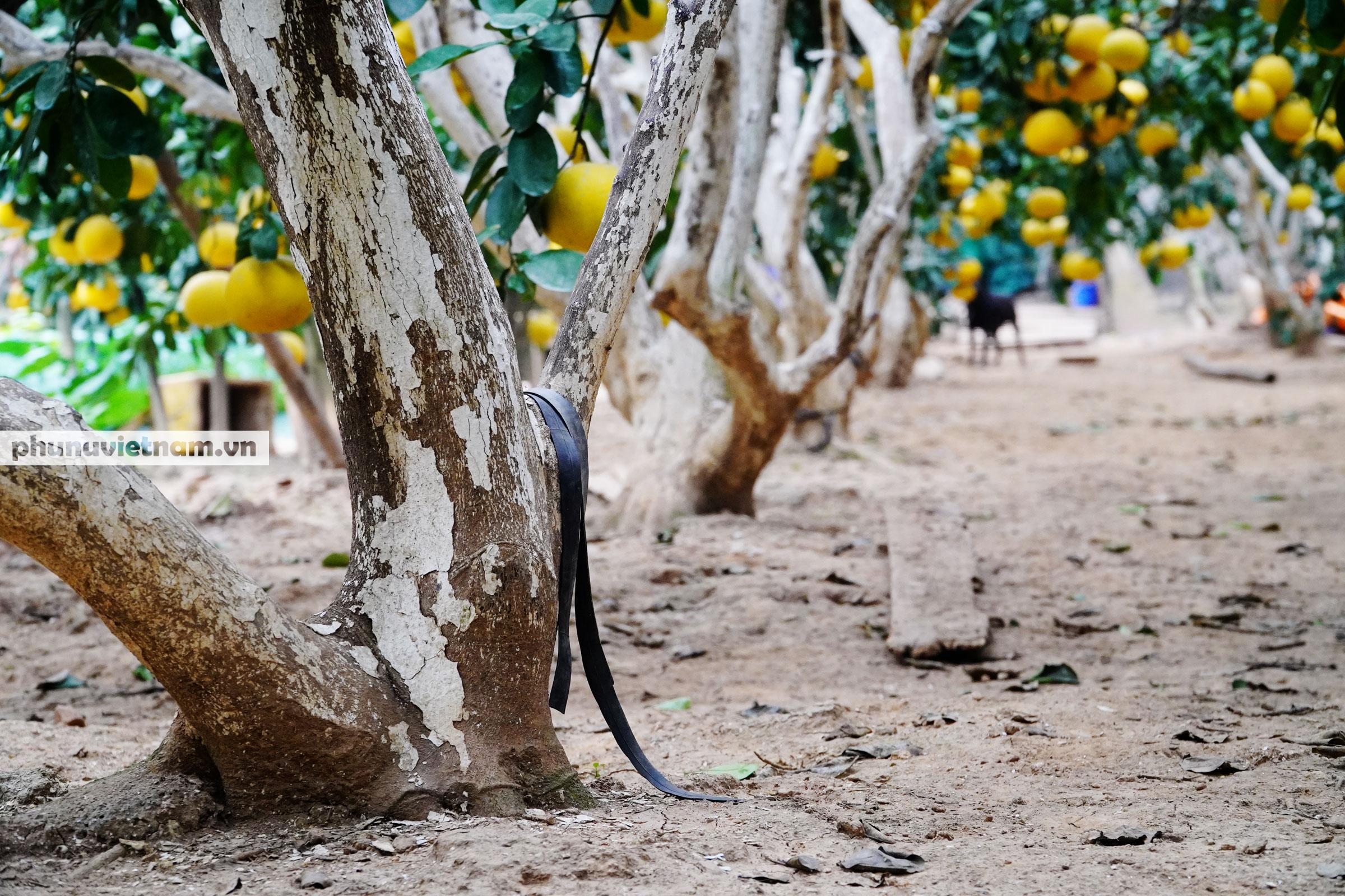 Vườn bưởi Diễn tuổi 30, chi chít cả trăm quả chào Xuân Tân Sửu - Ảnh 8.