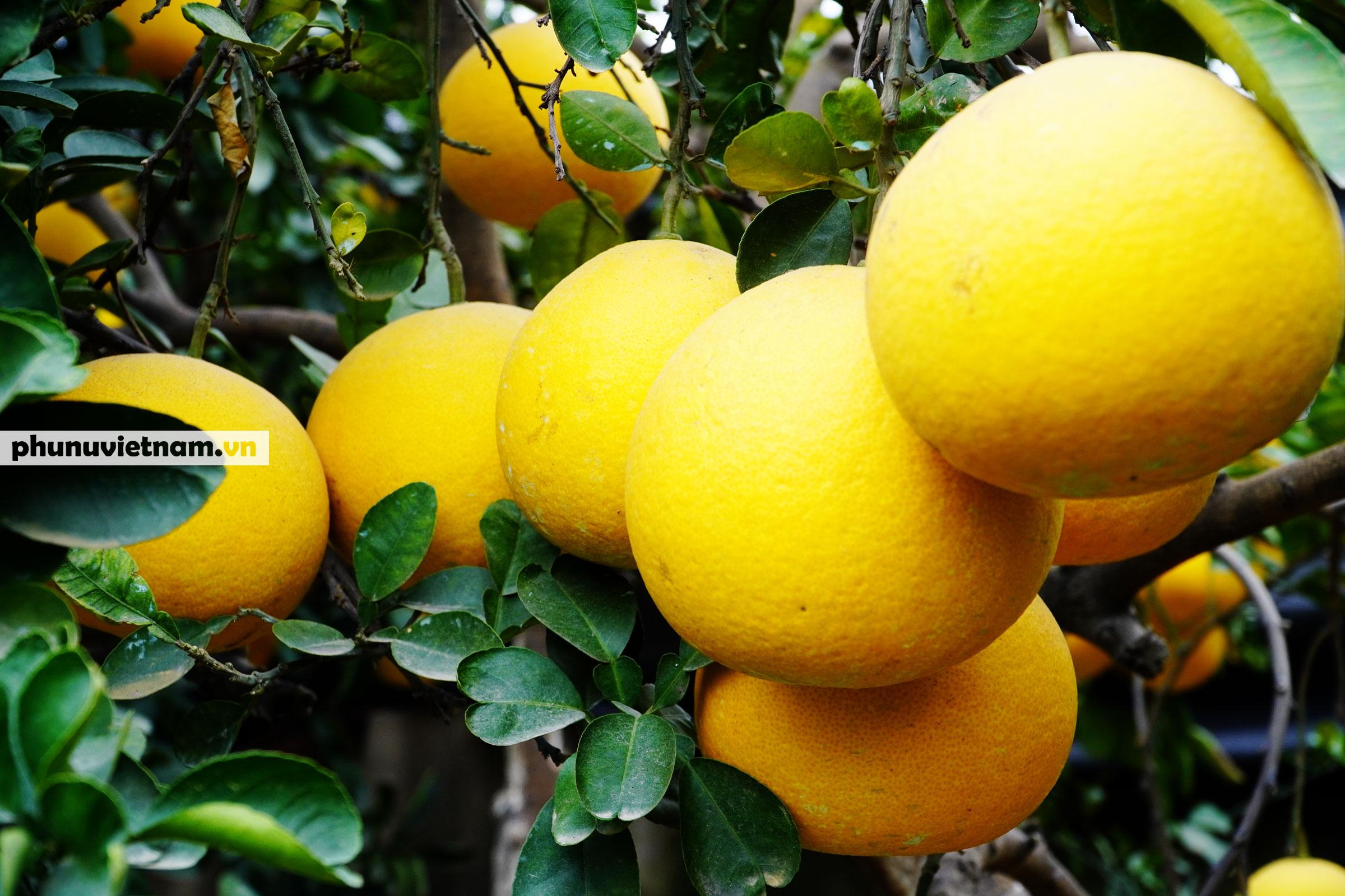 Vườn bưởi Diễn tuổi 30, chi chít cả trăm quả chào Xuân Tân Sửu - Ảnh 9.