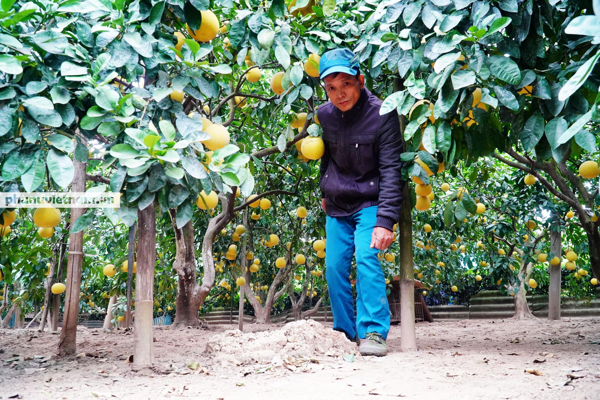 Vườn bưởi Diễn tuổi 30, chi chít cả trăm quả chào Xuân Tân Sửu - Ảnh 13.