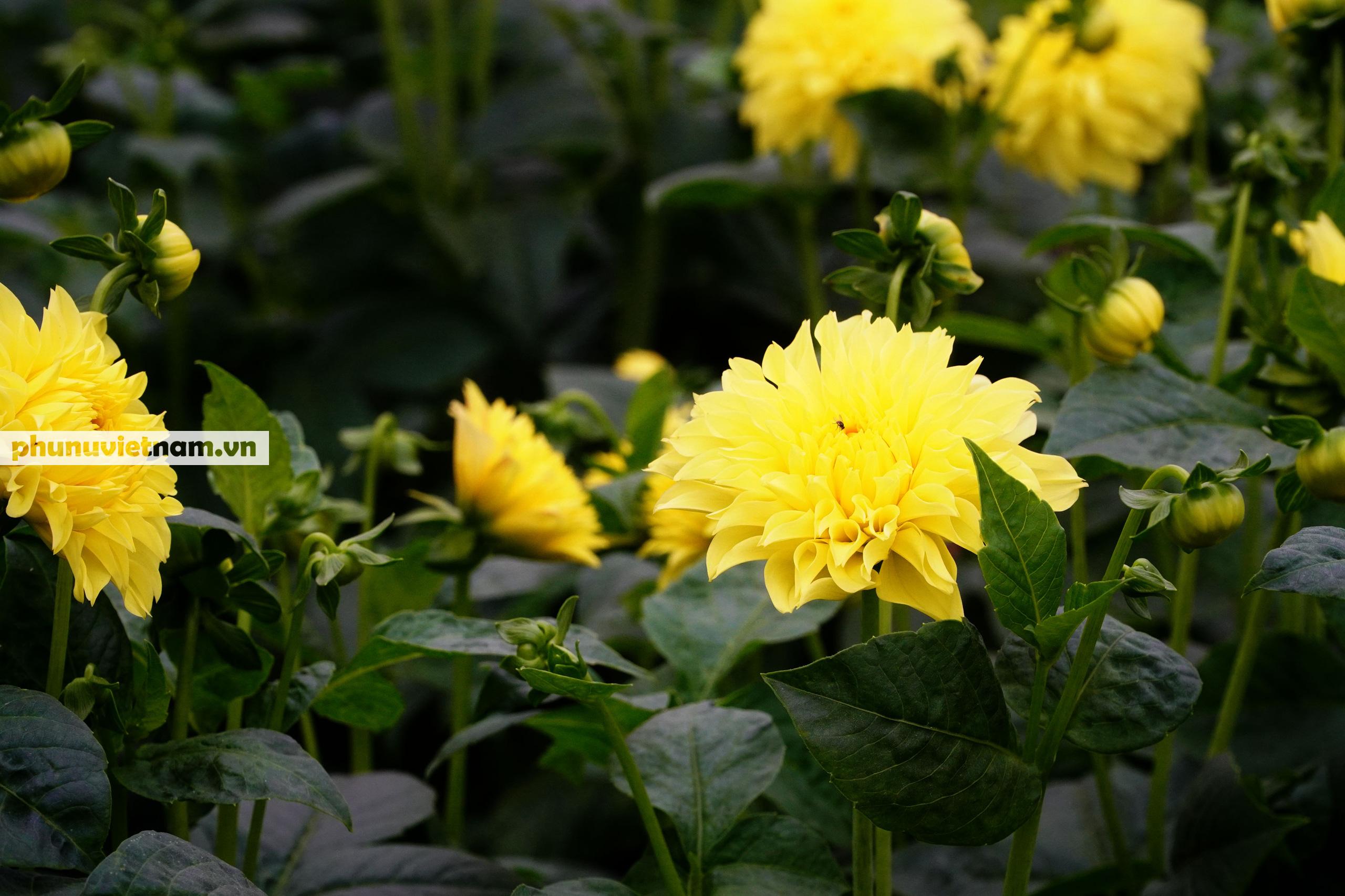"""Làng hoa lâu đời nhất Hà Nội """"hối hả"""" vào vụ Tết - Ảnh 13."""
