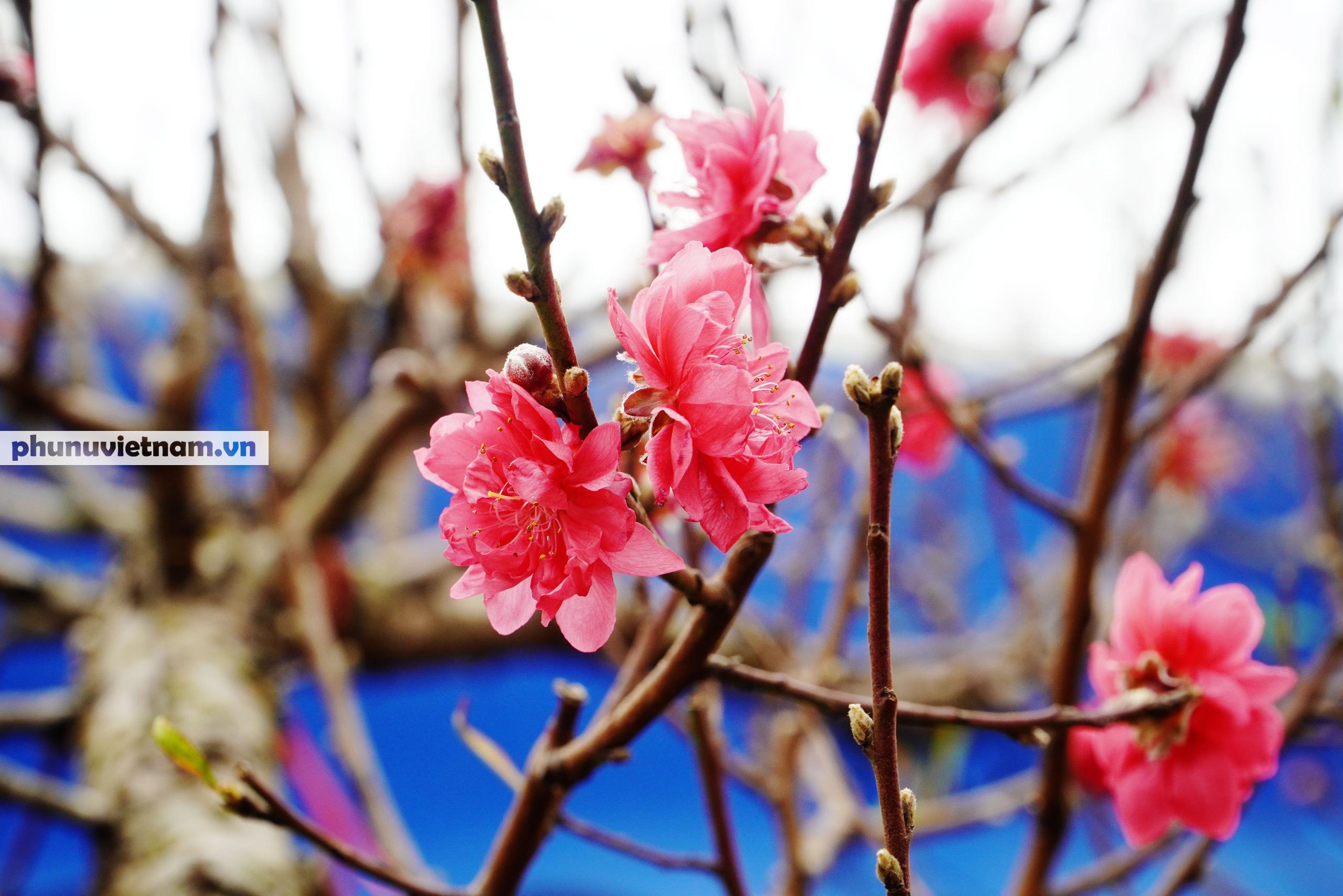 Đào Nhật Tân nở sớm hơn mọi năm, người trồng cầu mong giá rét kéo dài - Ảnh 1.