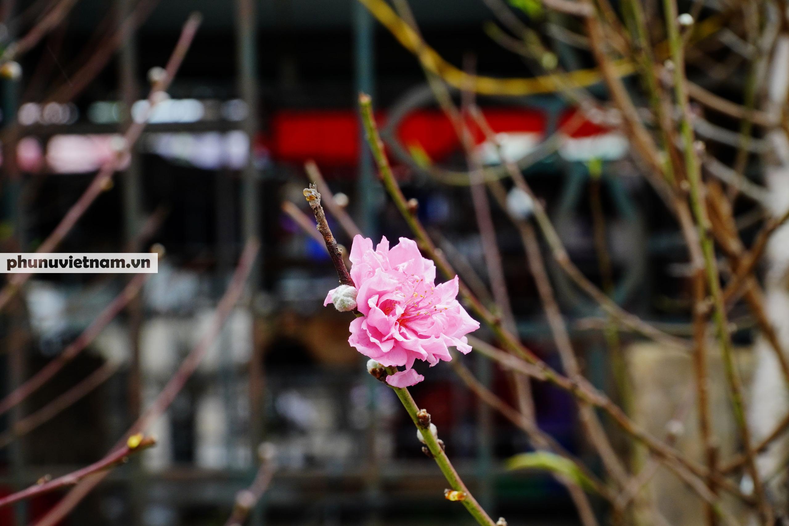 Đào Nhật Tân nở sớm hơn mọi năm, người trồng cầu mong giá rét kéo dài - Ảnh 6.