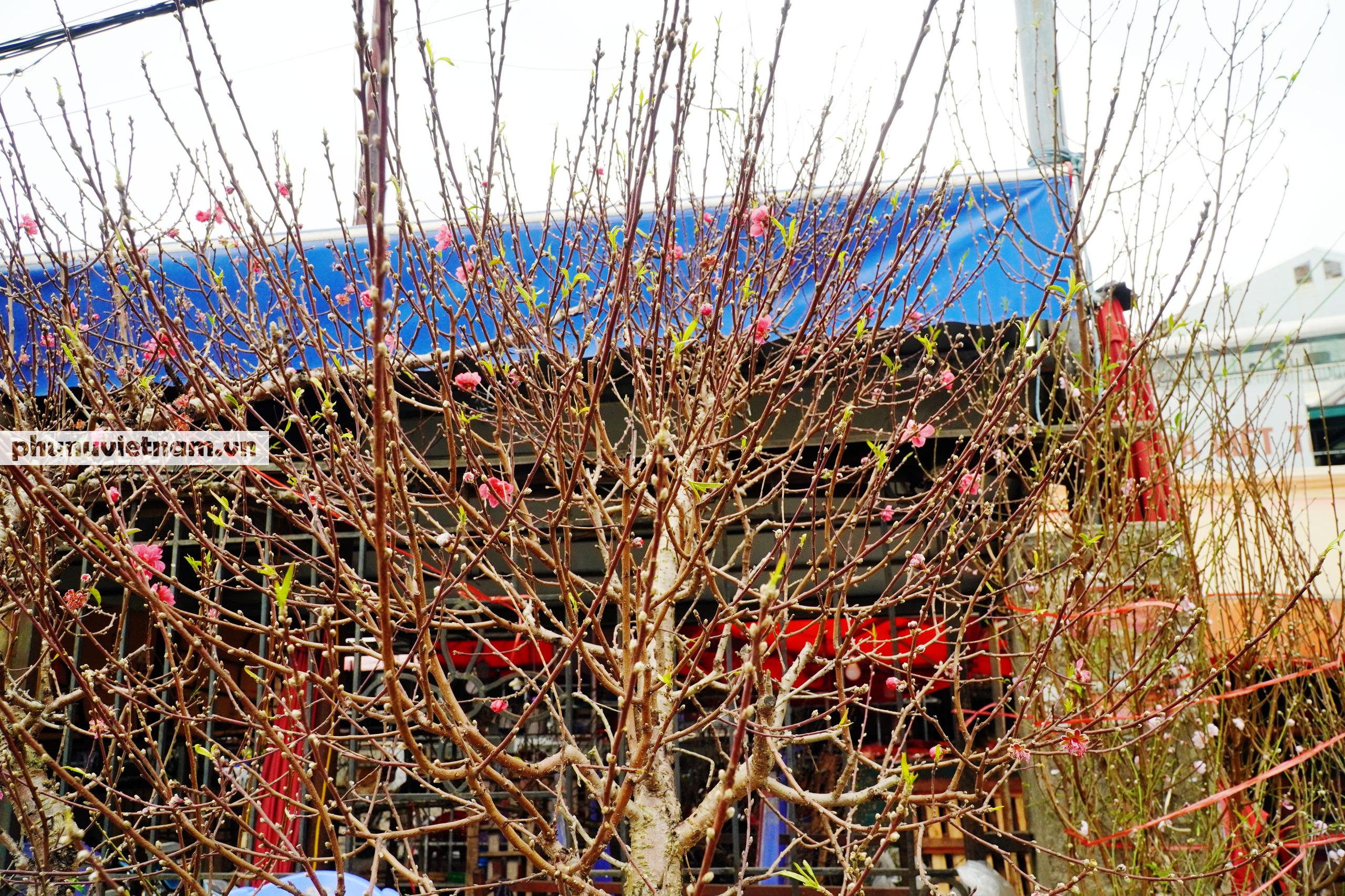 Đào Nhật Tân nở sớm hơn mọi năm, người trồng cầu mong giá rét kéo dài - Ảnh 8.