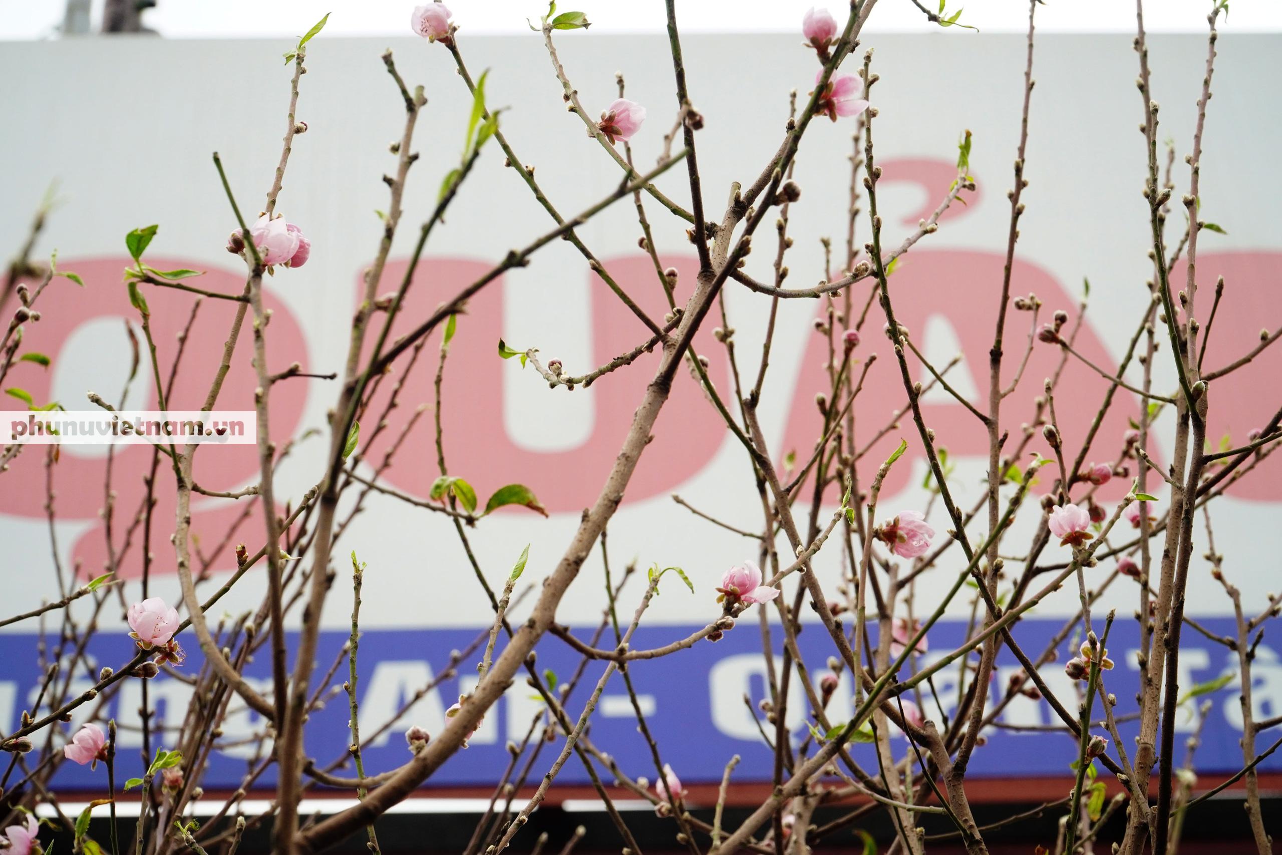 Đào Nhật Tân nở sớm hơn mọi năm, người trồng cầu mong giá rét kéo dài - Ảnh 11.