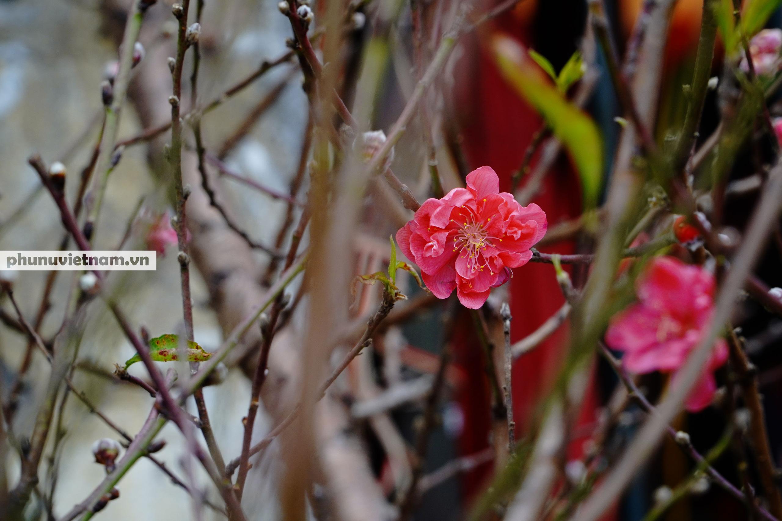 Đào Nhật Tân nở sớm hơn mọi năm, người trồng cầu mong giá rét kéo dài - Ảnh 12.