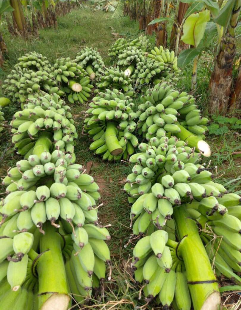 Bỏ tiền 25 triệu mua cả vườn chuối, tiểu thương thắng đậm gấp đôi khi bán 10 ngày Tết - Ảnh 2.