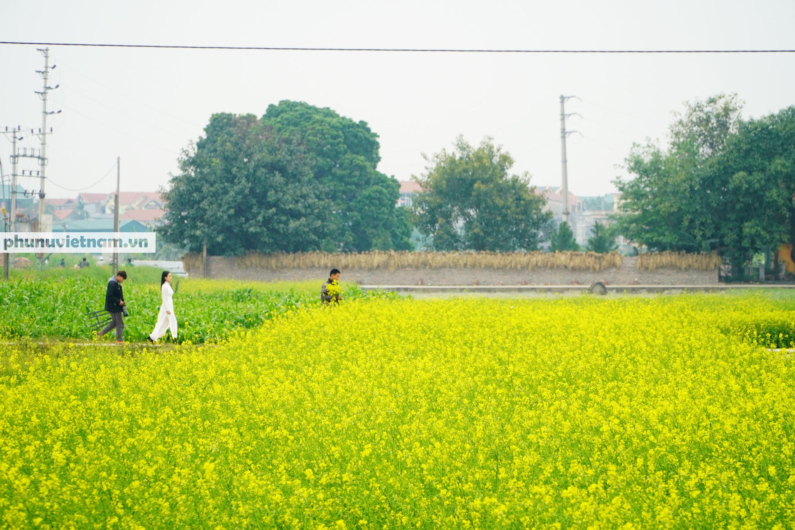 Thiếu nữ áo trắng đẹp hút lòng người trên cánh đồng hoa cải vàng ở Chi Đông - Ảnh 1.