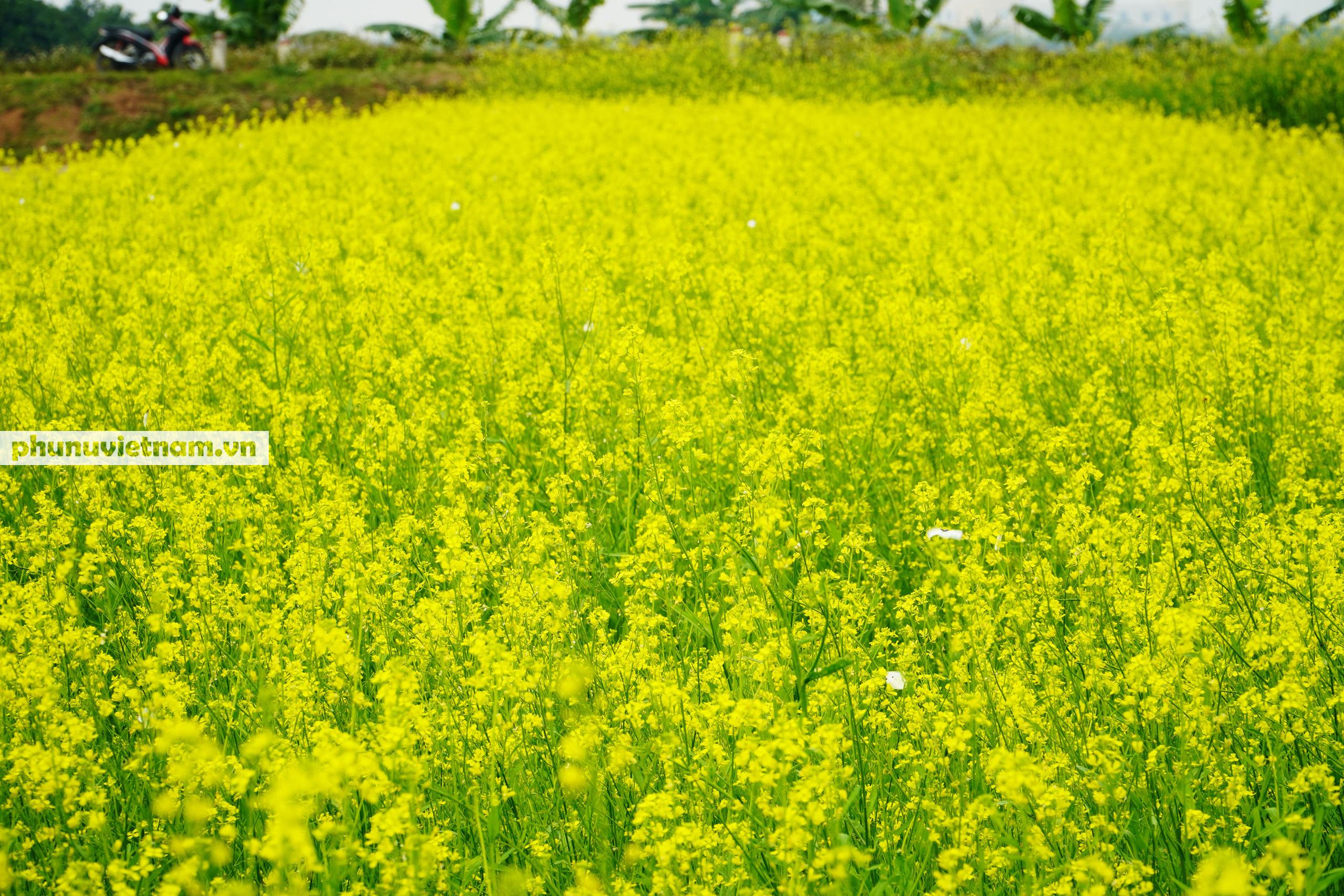 Thiếu nữ áo trắng đẹp hút lòng người trên cánh đồng hoa cải vàng ở Chi Đông - Ảnh 12.