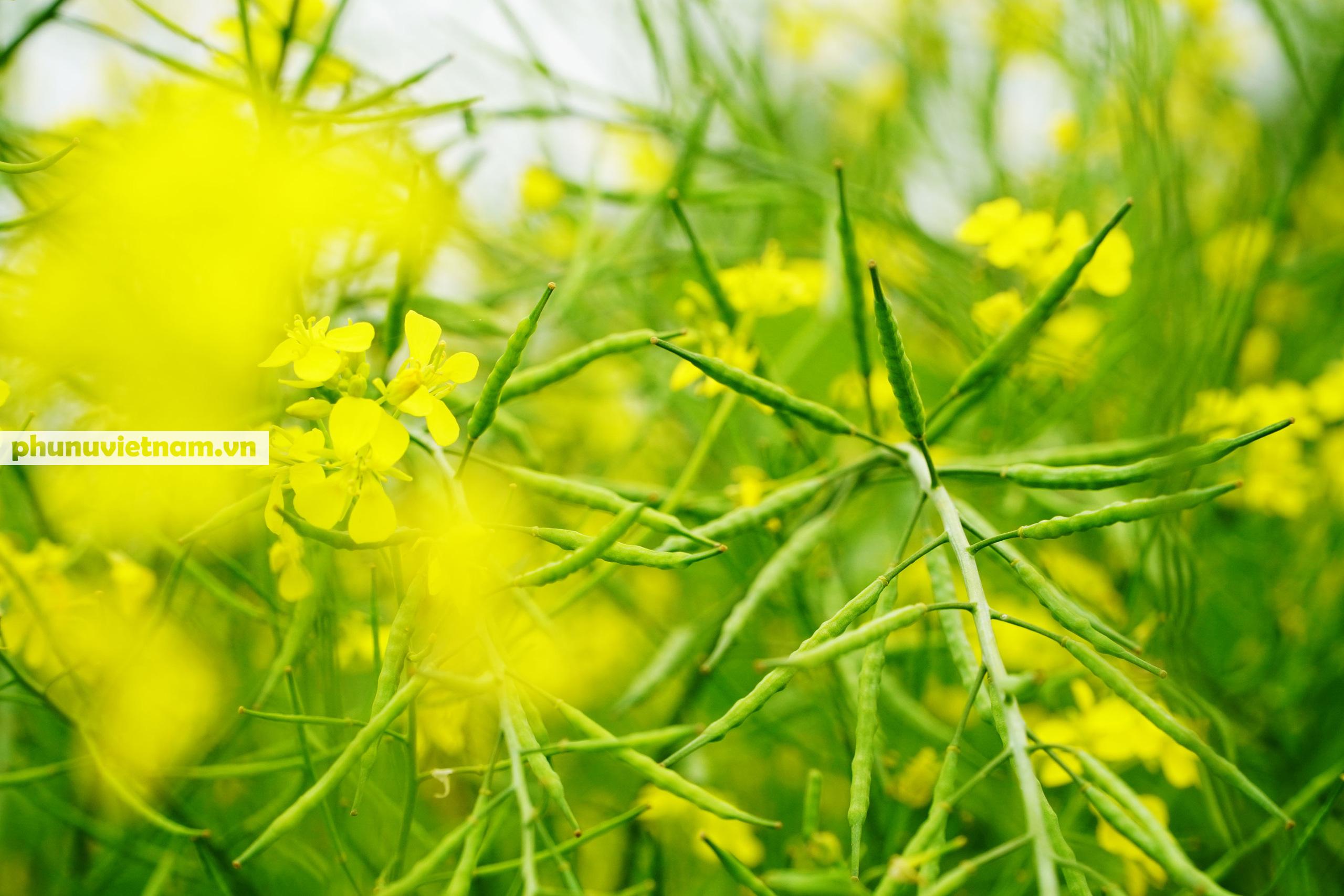 Thiếu nữ áo trắng đẹp hút lòng người trên cánh đồng hoa cải vàng ở Chi Đông - Ảnh 13.