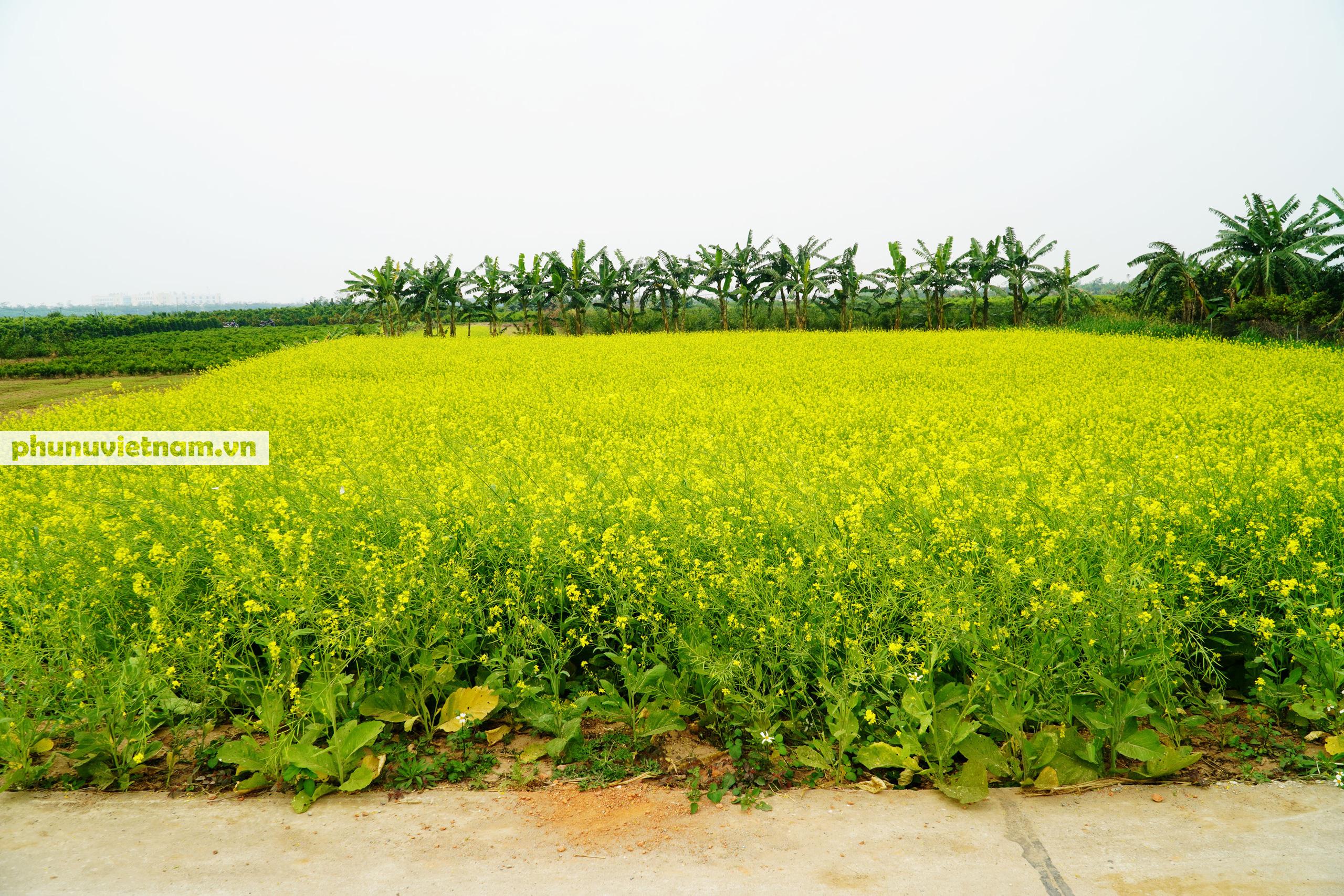 Thiếu nữ áo trắng đẹp hút lòng người trên cánh đồng hoa cải vàng ở Chi Đông - Ảnh 14.