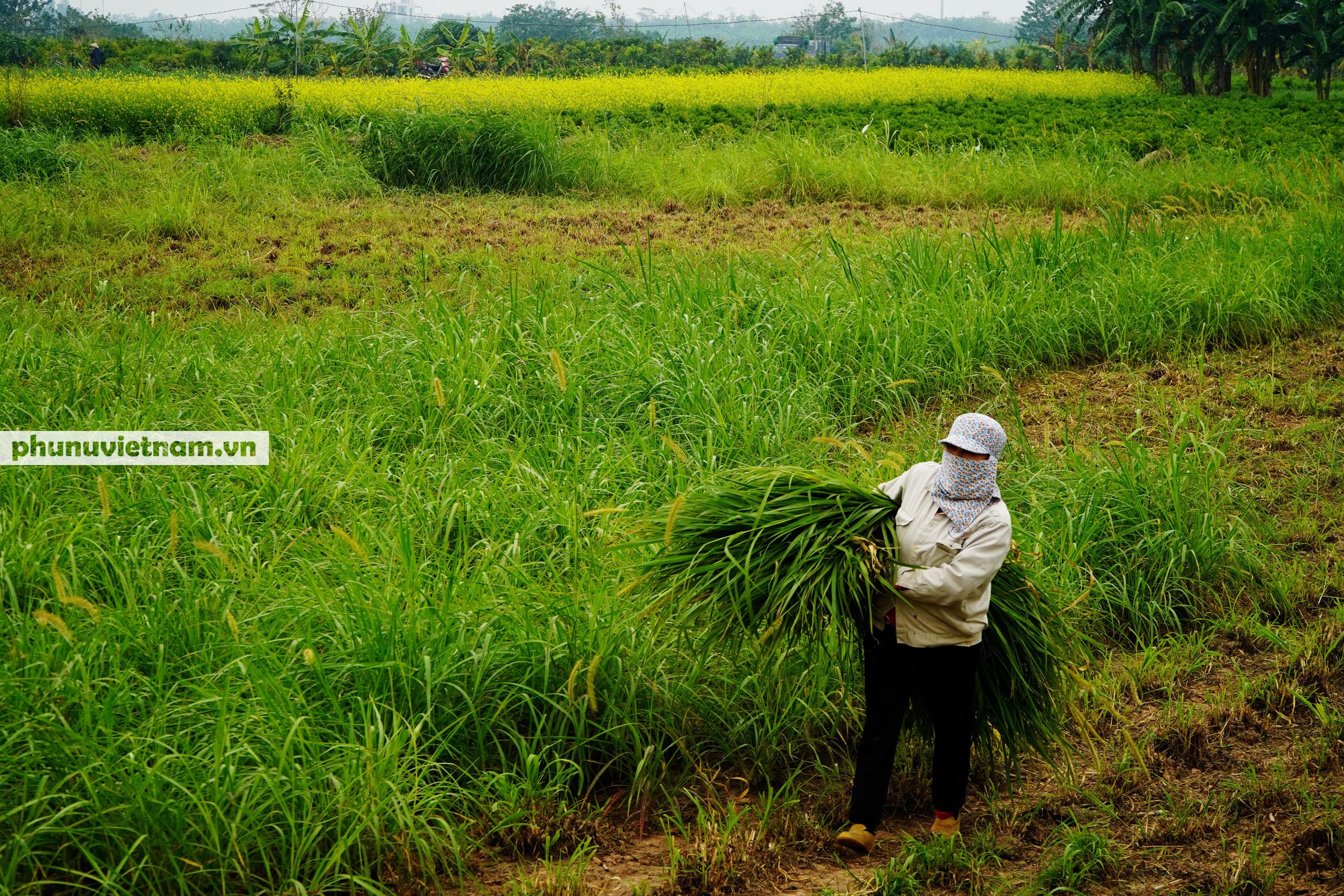 Thiếu nữ áo trắng đẹp hút lòng người trên cánh đồng hoa cải vàng ở Chi Đông - Ảnh 15.