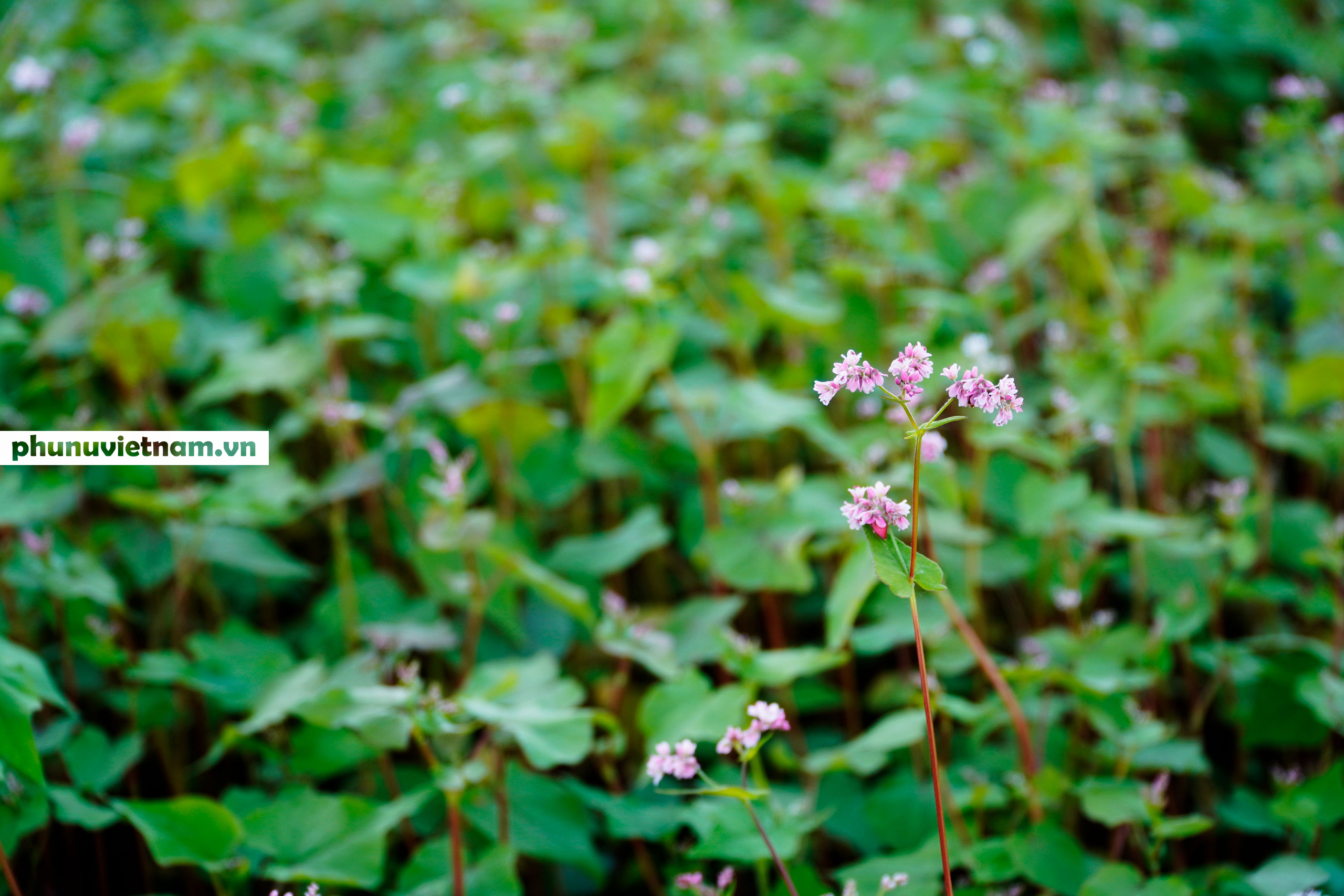 Mùa hoa tam giác mạch đong đầy nỗi nhớ trên Cao nguyên đá Hà Giang - Ảnh 1.