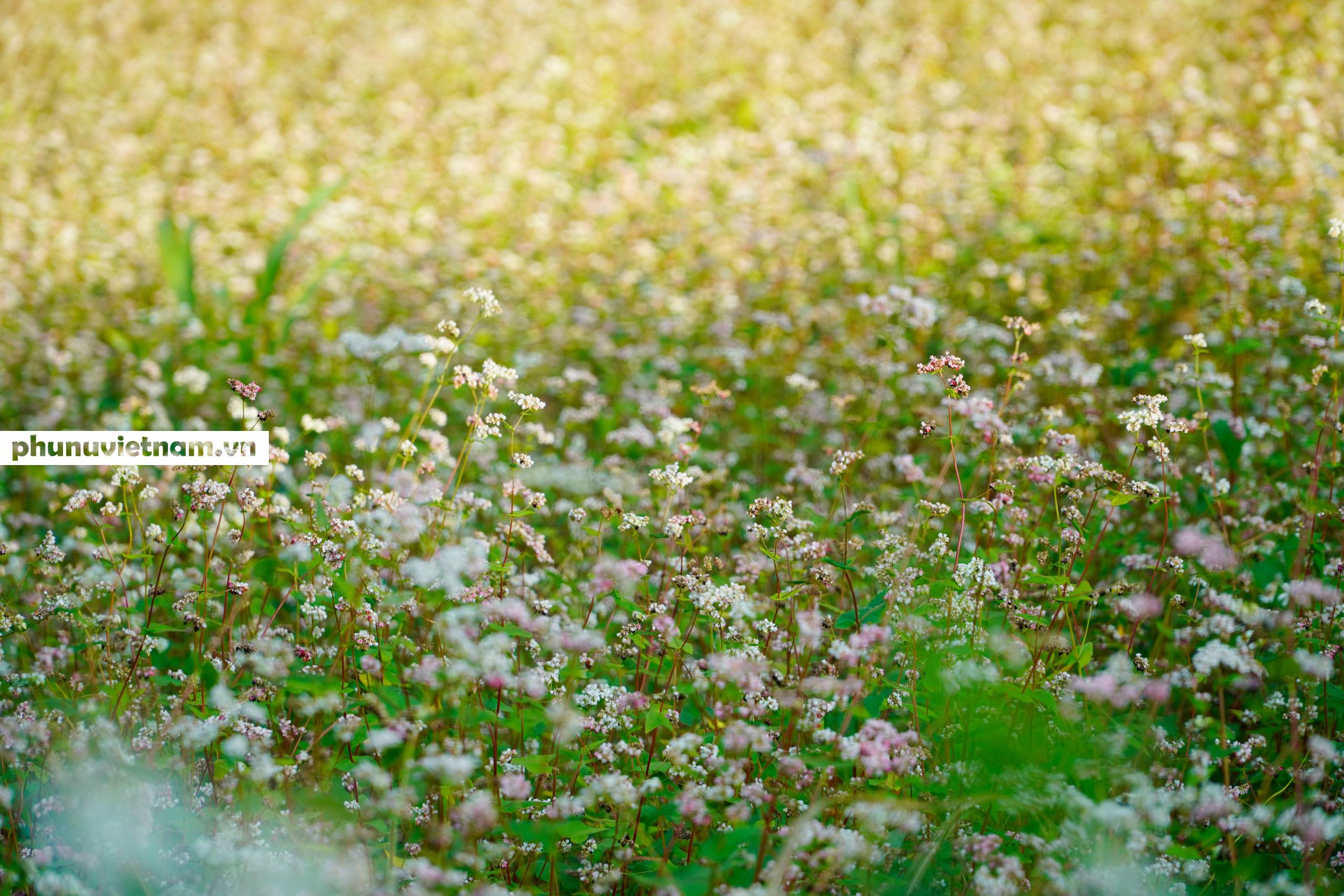 Mùa hoa tam giác mạch đong đầy nỗi nhớ trên Cao nguyên đá Hà Giang - Ảnh 10.