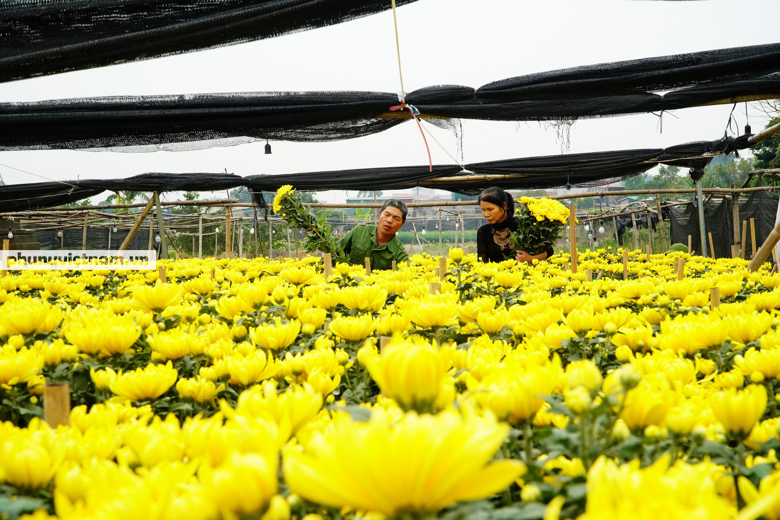 Người trồng hoa Tây Tựu dựng chòi trông hoa, ngủ qua đêm giữa trời rét buốt - Ảnh 1.