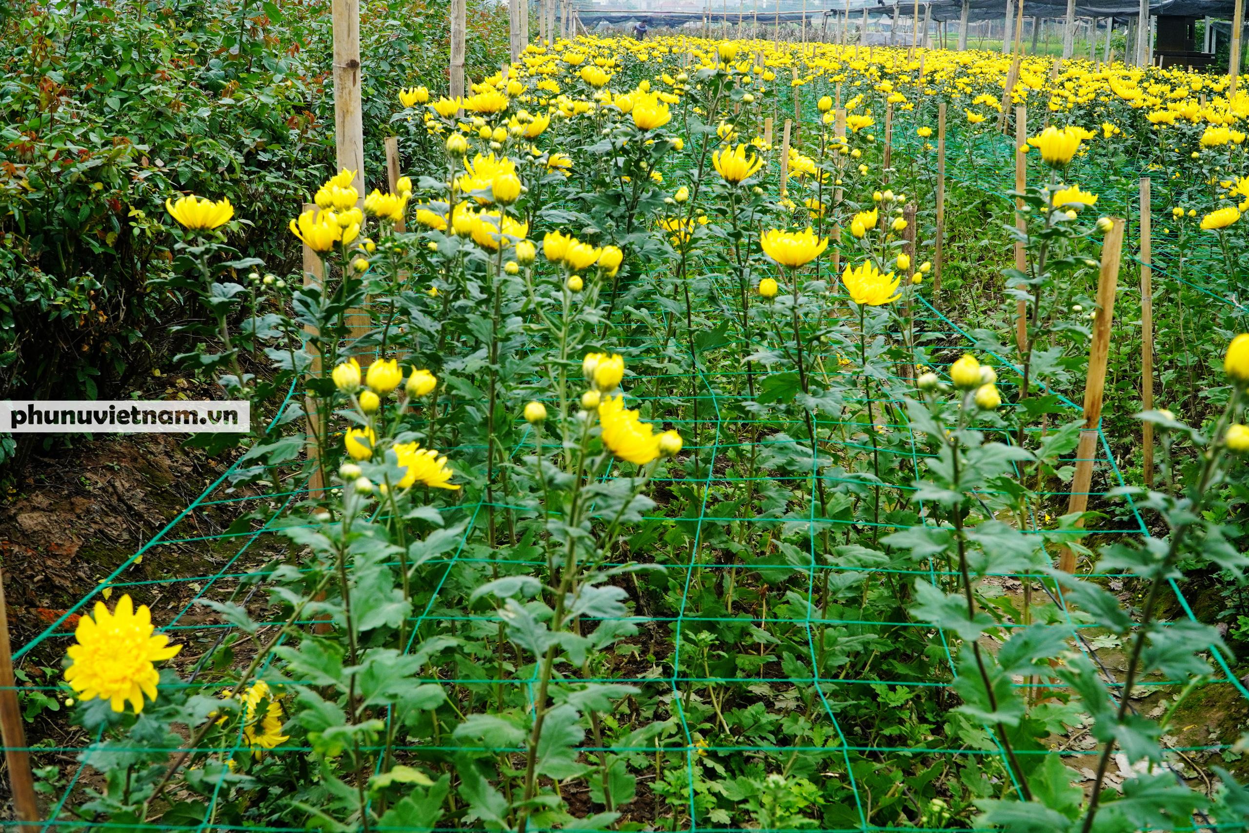 Người trồng hoa Tây Tựu dựng chòi trông hoa, ngủ qua đêm giữa trời rét buốt - Ảnh 3.