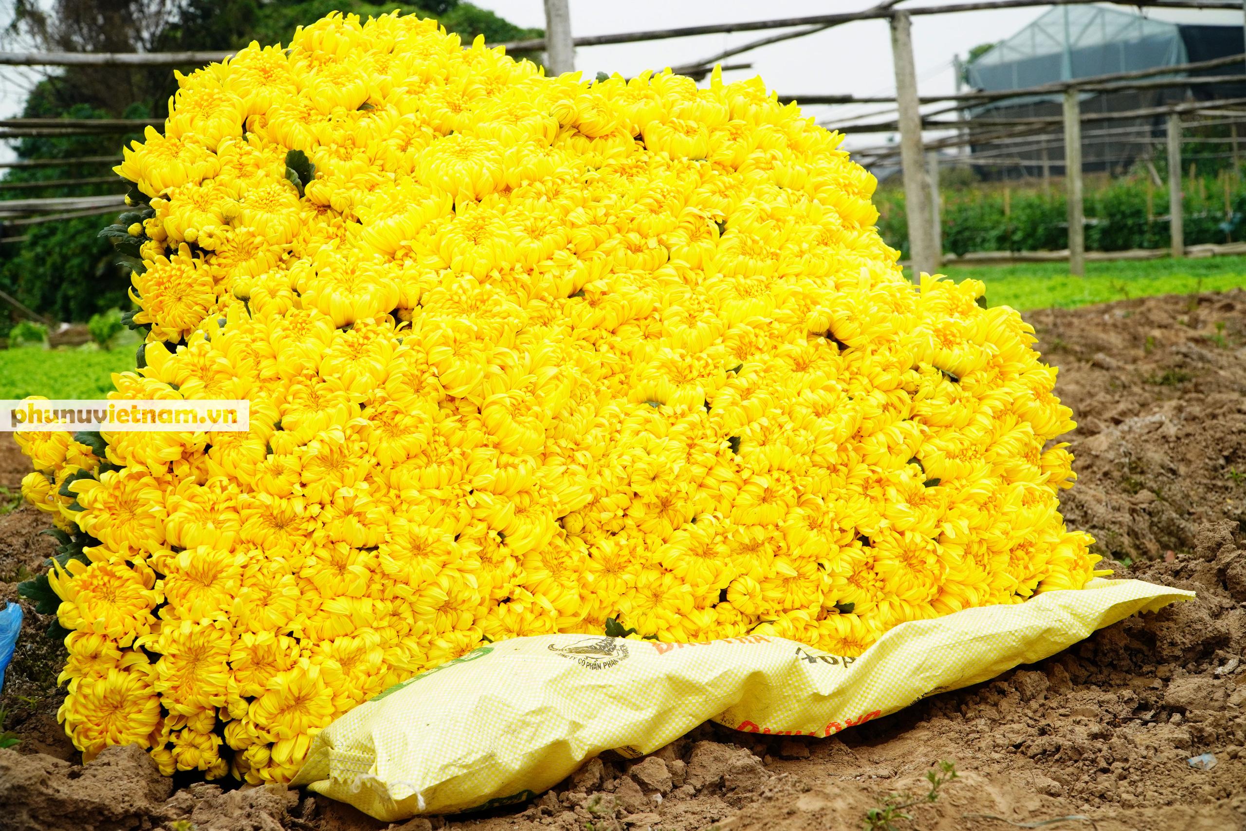Người trồng hoa Tây Tựu dựng chòi trông hoa, ngủ qua đêm giữa trời rét buốt - Ảnh 8.