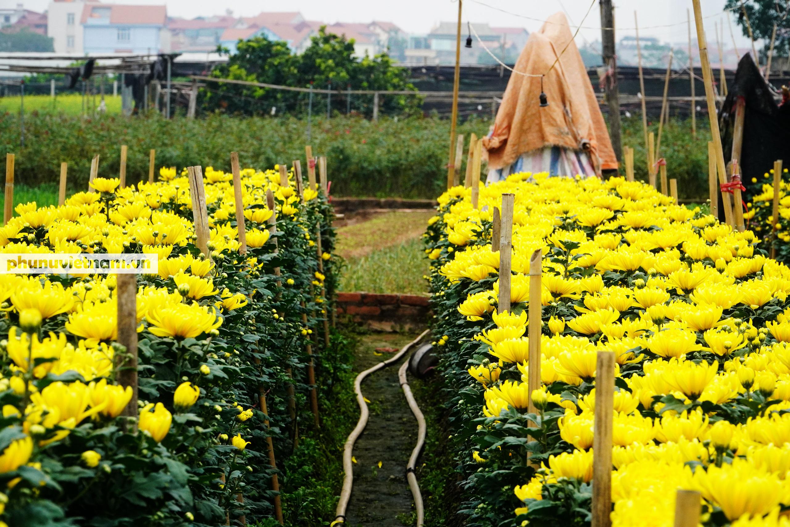 Người trồng hoa Tây Tựu dựng chòi trông hoa, ngủ qua đêm giữa trời rét buốt - Ảnh 11.