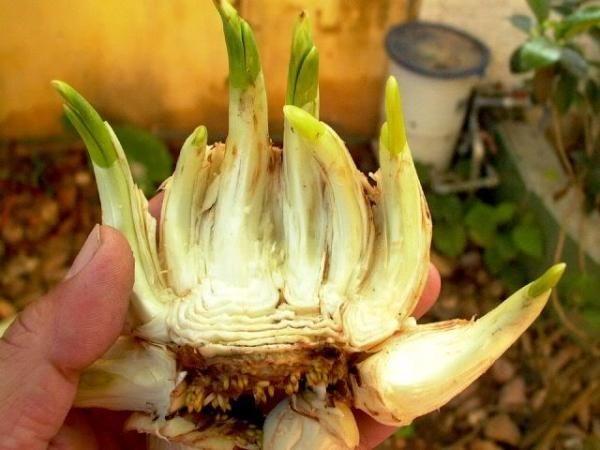 Sắm Tết 2021: Cách chọn và chăm sóc hoa thủy tiên bừng nở ngày đầu năm  - Ảnh 2.