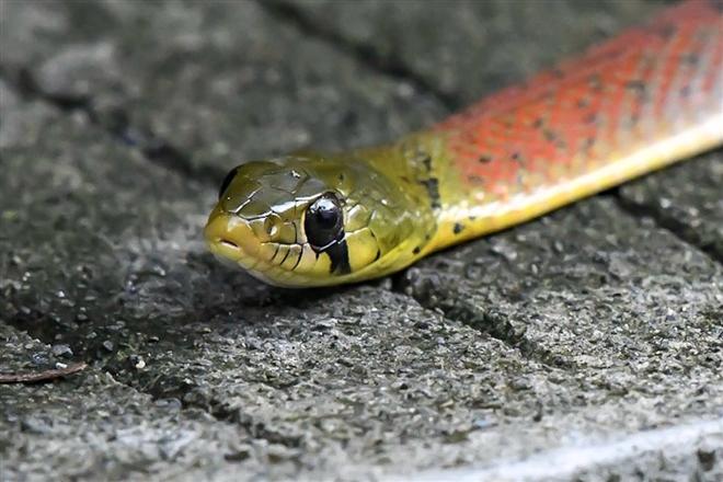 Rắn hoa cỏ cổ đỏ là rắn gì mà khiến một bé gái bị cắn xuất huyết không ngừng dẫn tới tử vong? - Ảnh 4.