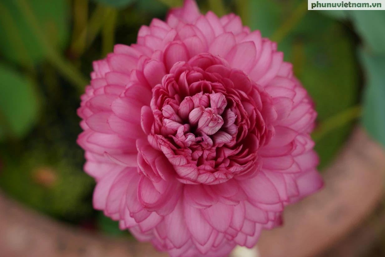Chiêm ngưỡng những loại hoa sen độc lạ vào mùa tại Hà Nội - Ảnh 5.