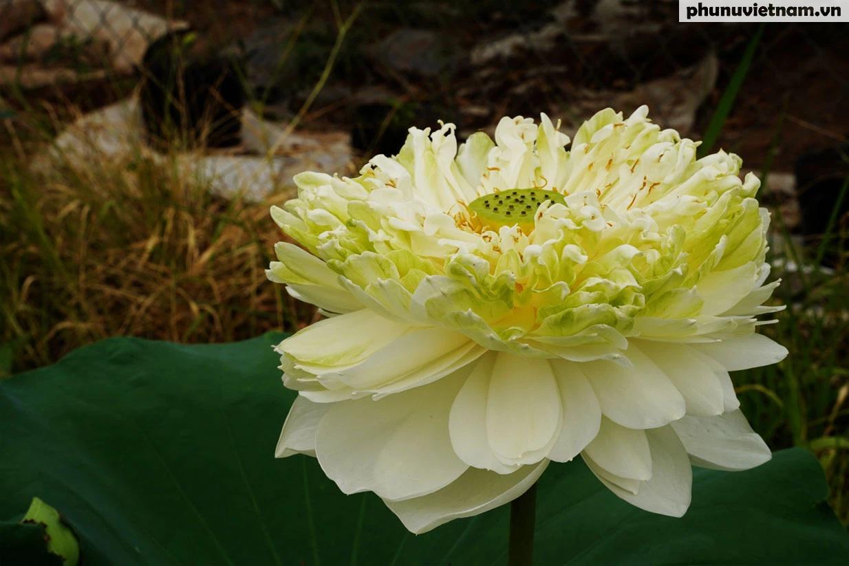 Chiêm ngưỡng những loại hoa sen độc lạ vào mùa tại Hà Nội - Ảnh 6.