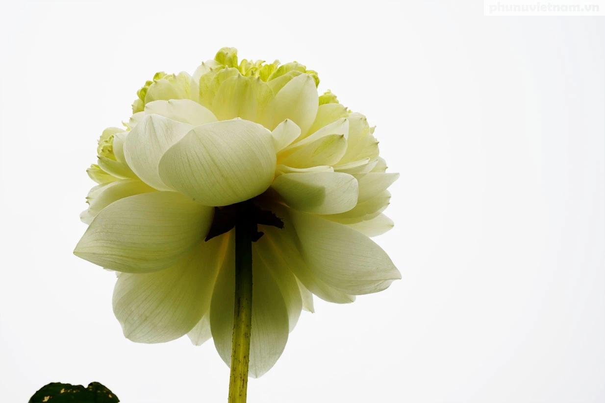 Chiêm ngưỡng những loại hoa sen độc lạ vào mùa tại Hà Nội - Ảnh 8.