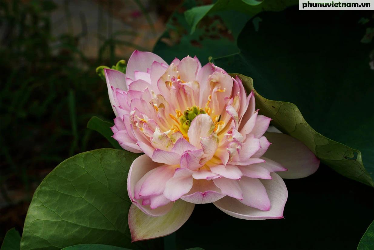 Chiêm ngưỡng những loại hoa sen độc lạ vào mùa tại Hà Nội - Ảnh 11.