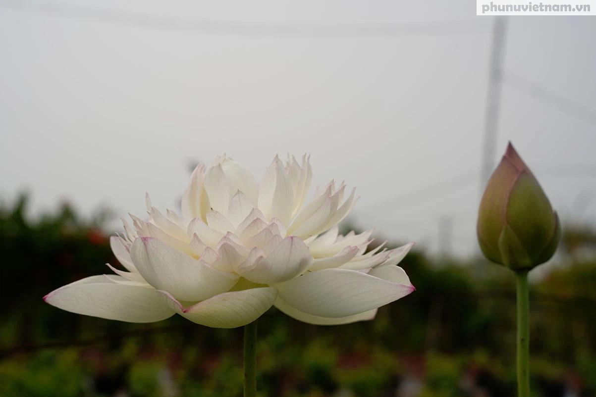 Chiêm ngưỡng những loại hoa sen độc lạ vào mùa tại Hà Nội - Ảnh 12.