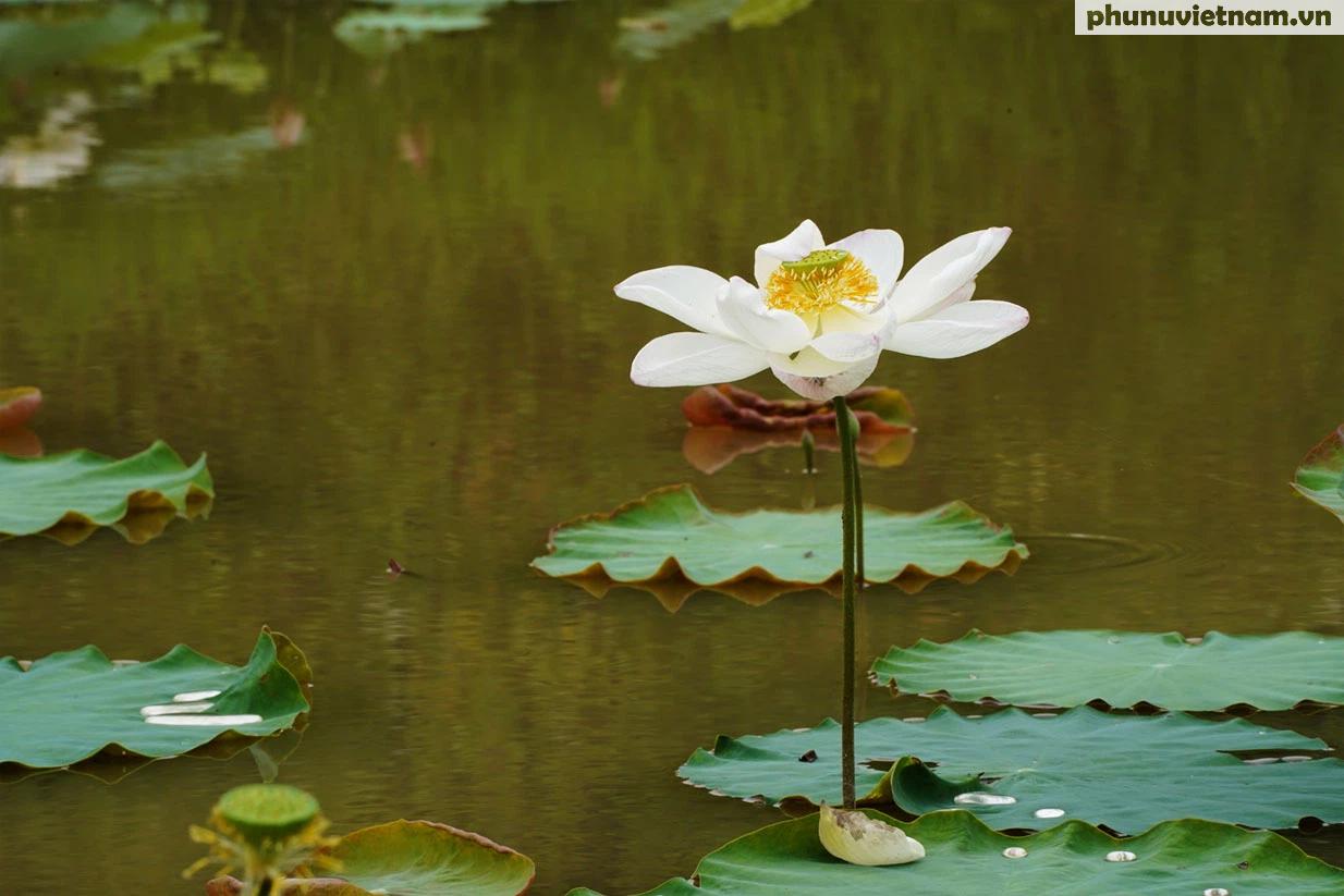 Chiêm ngưỡng những loại hoa sen độc lạ vào mùa tại Hà Nội - Ảnh 14.