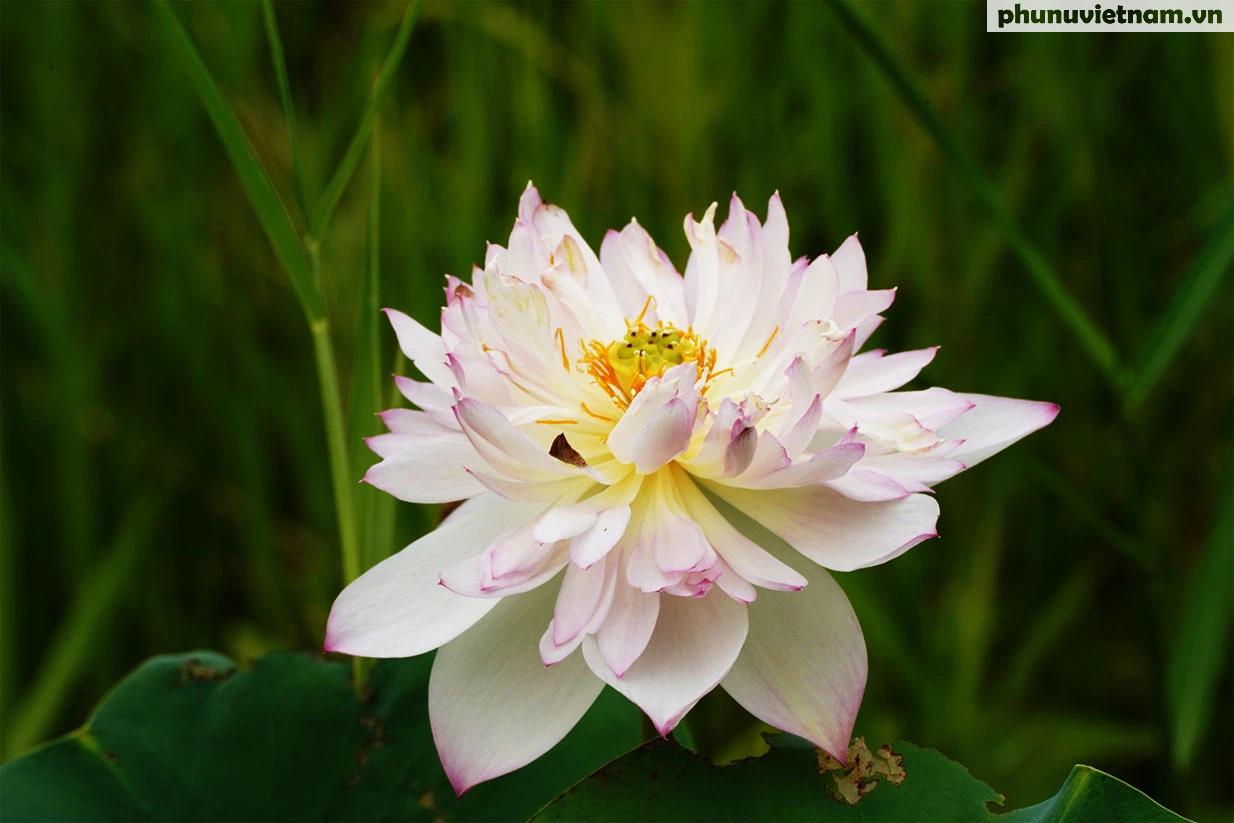 Chiêm ngưỡng những loại hoa sen độc lạ vào mùa tại Hà Nội - Ảnh 15.