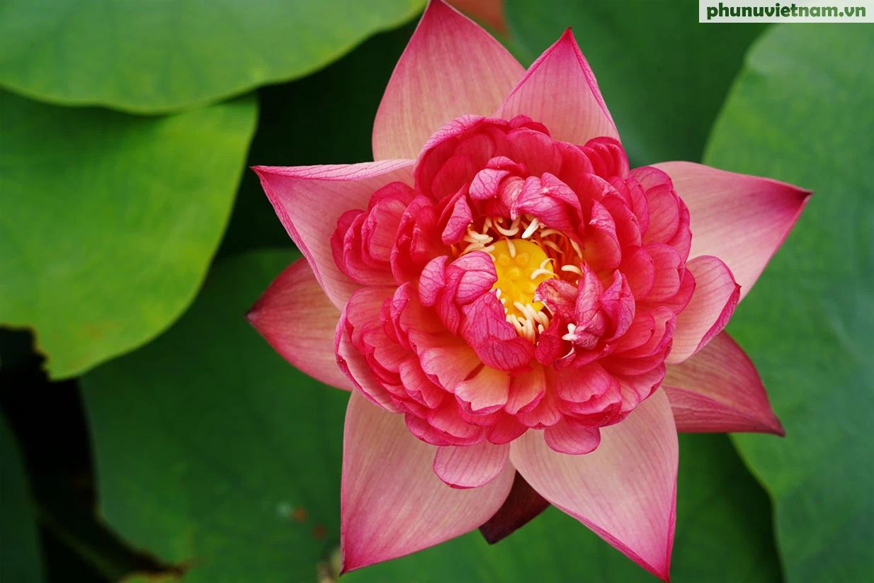 Chiêm ngưỡng những loại hoa sen độc lạ vào mùa tại Hà Nội - Ảnh 16.